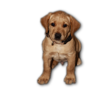 hunting labradors for sale